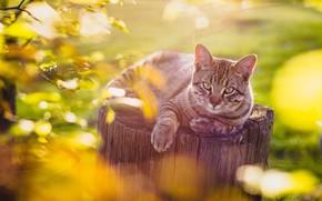 Картинка кошка, кот, взгляд, пень, боке