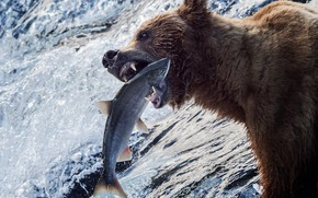 Обои река, рыба, улов, вода, гризли, рыбалка, медведь, Аляска