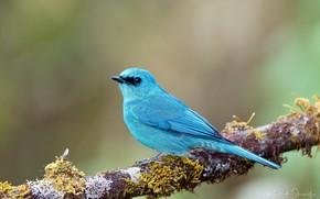 Картинка голубой, птица, ветка, яркая