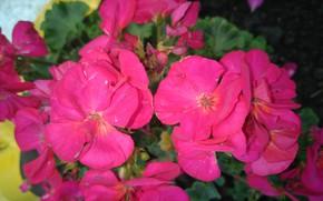 Картинка макро, герань, ярко-розовые, mamala ©
