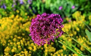 Картинка Лук, Боке, Фиолетовые цветы, Purple flowers, Цветок лука, Flower onions