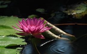 Картинка листья, вода, цветы, кувшинка, цветение