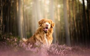 Картинка лес, собака, вереск, Новошотландский ретривер