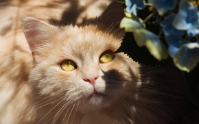 Обои кот, глаза, пушистая, светотень, персиковая, гортензия, мордашка, тени, желтые глаза, свет, кошка, цветы, взгляд, портрет