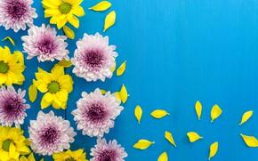Картинка цветы, лепестки, хризантемы