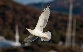Картинка крылья, чайка, летит