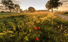 Картинка поле, маки, утро