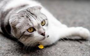 Картинка кошка, глаза, вислоухая