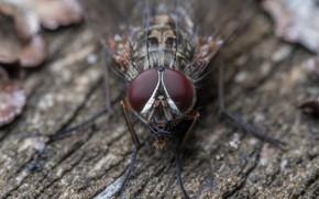 Картинка макро, природа, муха
