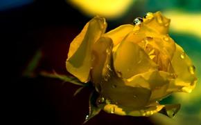 Картинка капли, свет, роса, фон, темный, роза, лепестки, бутон, желтая