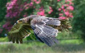 Картинка полет, птица, крылья, хищник, клюв, степной орёл