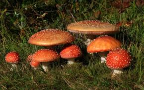 Картинка трава, грибы, мухоморы
