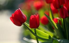 Картинка тюльпаны, бутоны, красные тюльпаны