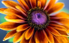 Картинка цветок, макро, цветы, лепестки, тычинки, рудбекия, эхинацея