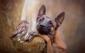 Обои лес, овчарка, друзья, птица, дерево, боке, сова, природа, собака
