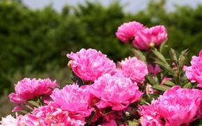 Картинка цветы, розовый, весна, цветение, Пионы