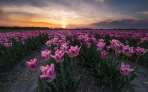 Картинка поле, цветы, весна, вечер, тюлпаны