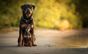 Картинка боке, Карликовый пинчер, собаки, Ротвейлер