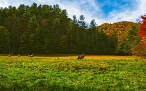Картинка осень, лес, трава, солнце, деревья, поляна, США, олени, стадо, Северная Каролина