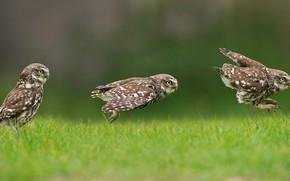 Картинка трава, природа, сова, совенок