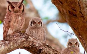 Картинка птицы, дерево, сова, птенцы, Южная белолицая совка