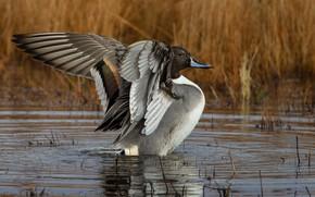 Картинка крылья, утка, водоем, шилохвость