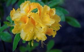 Картинка желтый, рододендрон, азалия