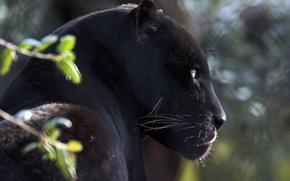 Картинка морда, портрет, хищник, ягуар, профиль, дикая кошка, чёрная пантера