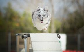 Картинка прыжок, собака, барьер