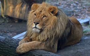 Картинка взгляд, морда, кошки, природа, поза, фон, отдых, лев, лапы, грива, лежит, дикие кошки, зоопарк, большие ...