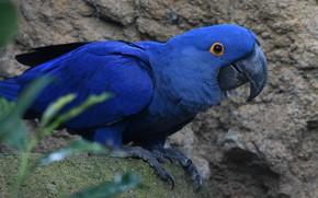 Картинка синий, птица, попугай, ара