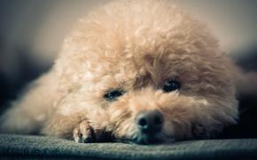 Картинка взгляд, фон, собака, нос