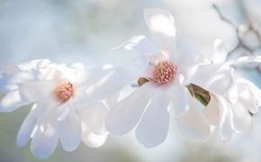 Картинка свет, цветы, фон, красота, светлый, ветка, весна, лепестки, белые, трио, бутоны, цветение, нежно, цветки, изящно, …