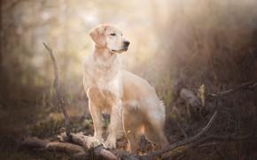 Картинка ветки, собака, боке, Голден ретривер, Золотистый ретривер