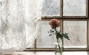 Обои цветок, роза, окно, занавески