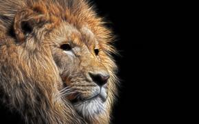 Обои морда, лев, грива