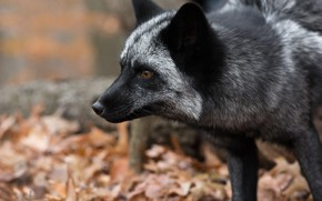 Картинка взгляд, морда, лиса, Чернобурая лисица