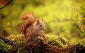 Обои ветки, природа, животное, мох, белка, коряга, шишка, зверёк, грызун
