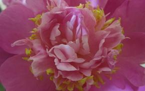 Картинка макро, розовый, лепестки, пион