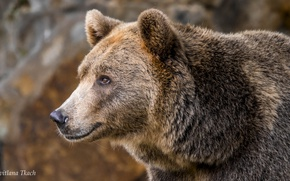 Картинка взгляд, морда, портрет, медведь, Бурый медведь, Топтыгин