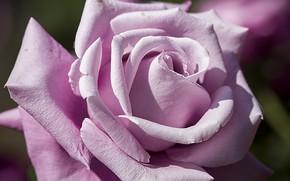 Картинка цветок, макро, роза, цвет