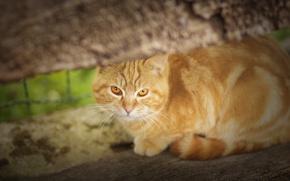 Картинка кошка, взгляд, рыжая, рыжий кот