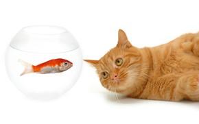 Картинка кот, усы, взгляд, аквариум, рыбка, рыжий, мордочка, белый фон, лежит