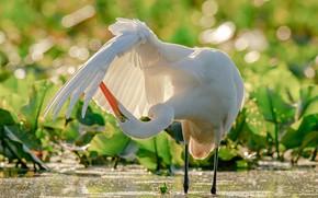 Обои крыло, цапля, боке, вода, Большая белая цапля, птица