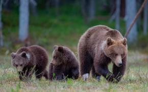 Картинка лес, трава, природа, поляна, медведи, медвежата, боке, медведица
