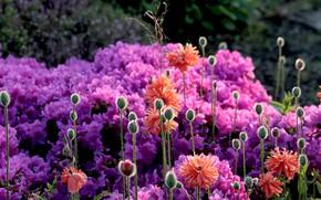 Картинка цветы, мак, цветение, азалии