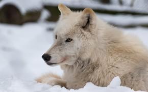 Картинка зима, белый, взгляд, морда, снег, природа, фон, волк, портрет, лежит, арктический, полярный