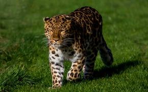 Обои трава, солнце, зелень, хищник, гуляет, боке, леопард