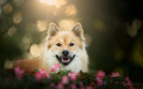 Картинка собака, взгляд, Евразиер, боке, морда