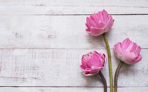 Картинка цветы, розовый, лотос, бутоны, wood, pink, flowers, lotus, petals